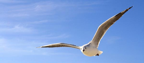 Seagull soaring in air